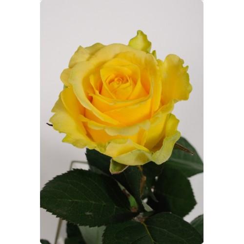 Роза Пени Лэйн