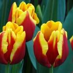 """Тюльпаны """"Наши 8 марта"""""""