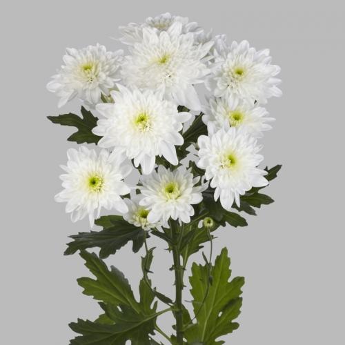 Хризантема Кустовая Бонита