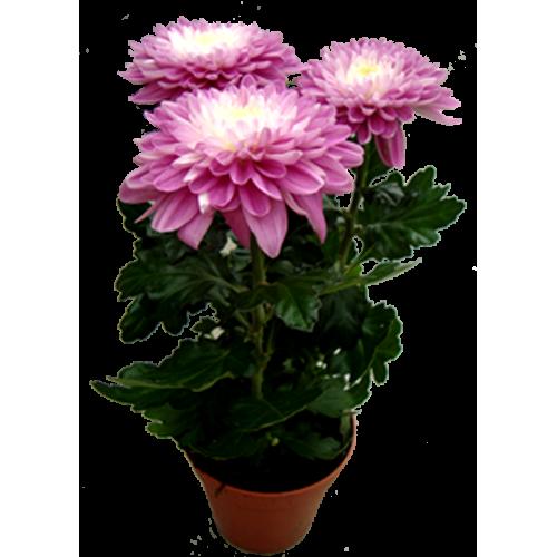 Хризантема Зембла
